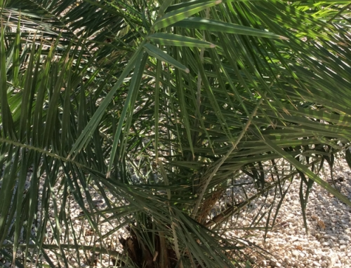 Red palm weevil treatment tips